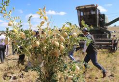 Talasta 200 dekar alana ekilen nohudun hasadı yapıldı