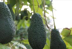 İhracatçılar ve üreticiler egzotik meyvelere yöneliyor