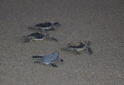Adanada yeşil deniz kaplumbağaları denizle buluşuyor