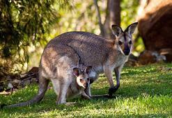 Kangurunun cebi mi var