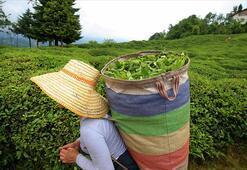 ÇAYKUR, ikinci sürgün yaş çay alımlarını tamamladı