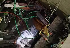Artvin'de asansör boşluğuna düşen inek kurtarıldı