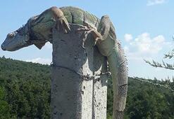 Yoldan geçen vatandaşlar buldu İguana şaşkınlığı