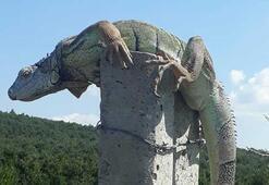 Çatalcada görülen iguana şaşkınlığa neden oldu