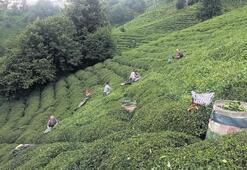 Çay bedeli ödemeleri başlıyor