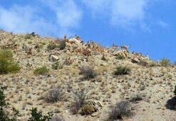 Erzincan'da dağ keçileri sürü halinde görüntülendi