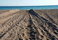 Sahilde kaplumbağa yuvalarının iş makinesiyle dağıtılmasına 442 bin lira ceza