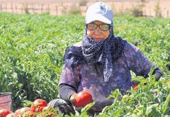 Çanakkale domatesi fiyattan  dertli