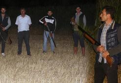 Mısırlarını domuzlardan korumak için gece silahlı nöbet tutuyorlar
