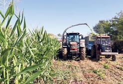 'Tahıl ambarında' 3 milyon  ton mısır rekoltesi bekleniyor