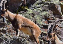 Erzincan'daki yaban keçileri kurtuldu