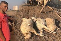 Adana'da 40 koyun tarım ilacıyla zehirlendi