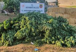Adıyaman'da 842 kök kenevir ele geçirildi: 2 gözaltı