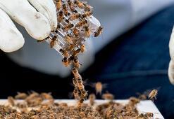 Bal arısı zehrinin bazı meme kanseri hücrelerini yok ettiği keşfedildi