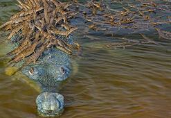 Nesli tükenmekte olan baba timsah 100 yavrusunu sırtında taşırken görüntülendi