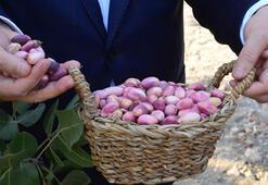 Şanlıurfa protokolü fıstık hasadına katıldı