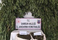 Samsunda 147 kilo esrar ele geçirildi: 14 gözaltı