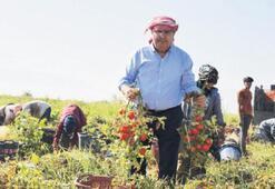 Çerçi hasada katıldı domates topladı