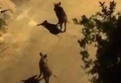 Yaban domuzları, Kaş caddelerine indi
