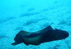 Saros Körfezinde İspanyol dansçısı balığı görüntülendi