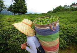 ÇAYKUR, üçüncü sürgünde 50 bin ton yaş çay aldı