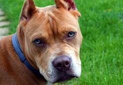 Pitbull Köpeği Özellikleri Nelerdir Yavru Amerikan Pitbull Terrier Cinsi Hakkında Bilgiler