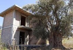 1500 yıllık zeytin ağacının dibine yapılan villa yıkıldı