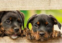 Rottweiler Köpek Özellikleri Nelerdir Yavru Rot Cinsi Hakkında Bilgiler