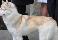 Sibirya Kurdu Köpek Özellikleri Nelerdir Yavru Husky Cinsi Hakkında Bilgiler