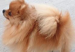 Pomeranian Boo Köpek Özellikleri Nelerdir Yavru Pom (Pomeranya) Cinsi Hakkında Bilgiler