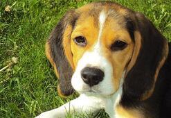 Beagle Köpek Özellikleri Nelerdir Yavru Beagle Cinsi Hakkında Bilgiler