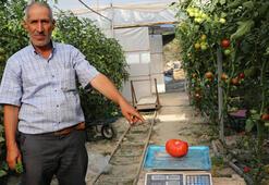 Bu domateslerin tanesi 1 kilo