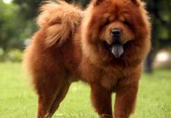 Çin Aslanı Köpek Özellikleri Nelerdir Yavru Çov-Çov (Chow Chow) Cinsi Hakkında Bilgiler