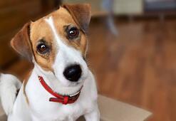 Jack Russell Köpek Özellikleri Nelerdir Yavru Jack Russell Terrier Cinsi Hakkında Bilgiler