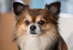 Chihuahua Köpek Özellikleri Nelerdir Yavru Şivava Köpeği Cinsi Hakkında Bilgiler