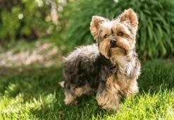 Yorkshire Terrier Köpek Özellikleri Nelerdir Yavru Yorkshire Teriyeri (Süs Köpeği) Cinsi Hakkında  Bilgiler