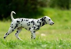 Dalmaçyalı Köpek Özellikleri Nelerdir Yavru Dalmaçya Köpeği Cinsi Hakkında Bilgiler