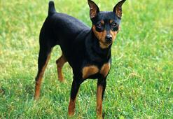 Pincher Köpek Özellikleri Nelerdir Yavru Minyatür Pinscher (M,n Pin) Cinsi Hakkında Bilgiler