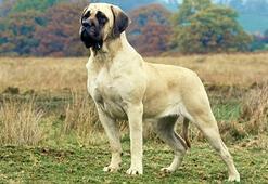 Mastiff Köpek Özellikleri Nelerdir Yavru İngiliz Mastifi Cinsi Hakkında Bilgiler