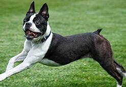 Boston Terrier Köpek Özellikleri Nelerdir Yavru Boston Terrier Cinsi Hakkında Bilgiler