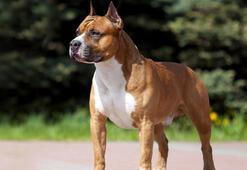 Amstaff Köpek Özellikleri Nelerdir Yavru American Staffordshire Terrier Cinsi Hakkında Bilgiler