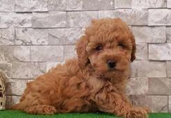 Toy Poodle Köpek Özellikleri Nelerdir Yavru Toy Poodle Cinsi Hakkında Bilgiler