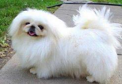 Pekinez Köpek Özellikleri Nelerdir Yavru Pekinez (Pekingese) Süs Köpeği Cinsi Hakkında Bilgiler