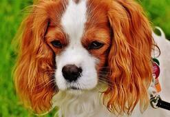 King Charles Köpek Özellikleri Nelerdir Yavru Cavalier King Charles Spaniel Cinsi Hakkında Bilgiler