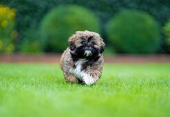 Shih Tzu Köpek Özellikleri Nelerdir Yavru Şitsu Cinsi Hakkında Bilgiler