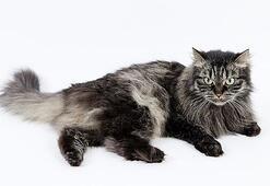Sibirya Kedisi Özellikleri Nelerdir Yavru Siberian Kedisinin Bakımı Nasıl Yapılır