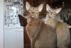 Habeş Kedisi Özellikleri Nelerdir Yavru Abyssinian Kedisinin Bakımı Nasıl Yapılır