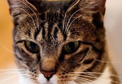 Amerikan Kedisi Özellikleri Nelerdir Yavru American Shorthair Kedisinin Bakımı Nasıl Yapılır