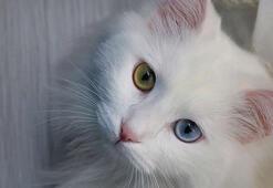 Van Kedisi Özellikleri Nelerdir Yavru Van Kedisinin Bakımı Nasıl Yapılır