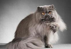 İran Kedisi Özellikleri Nelerdir Yavru Fars (Persian) Kedisinin Bakımı Nasıl Yapılır